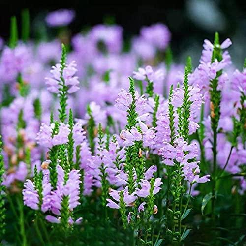 Lankfun Semillas de macetas de Flores,Semillas de grifos Falsos semilla de Hierba cruda Easy-Fake Fake Faucet_100g,perennes Semillas de Flores