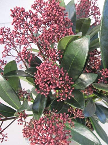 Baumschule Pflanzenvielfalt Skimmia Japonica Rubella - Japanische Skimmie Rubella