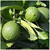 AchmadAnam - Tree - Persian Lime, 1-2 Year Old (1-2 Ft), Potted, 3 Year Warranty. E2