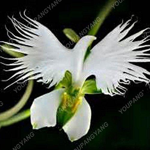 100 graines/pack japonais Radiata Seeds Aigrette Orchid Seeds espèces du monde Orchidée Rare Fleurs blanches Orchidee jardin plante rouge