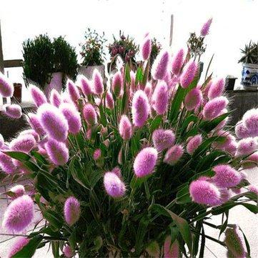 Generic Générique Lapin Queue Semences D'herbe Mixte Couleur Jardin Bunny Queue Herbe Décor Plantes - Violet-100 pcs