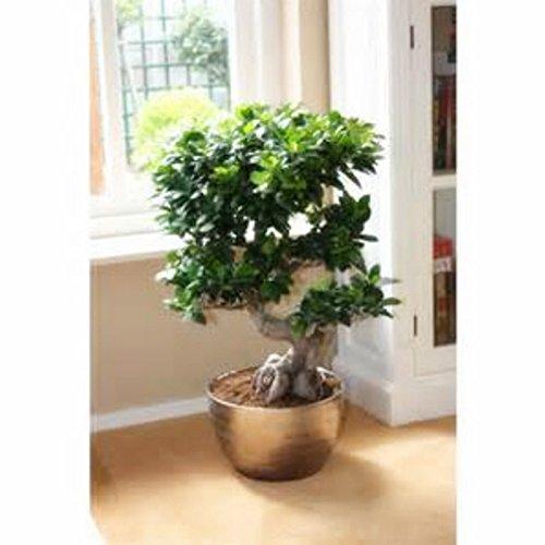 Chinois rares Graines Ficus Microcarpa Arbre, Bonsai Ginseng Banyan Garden Arbre Planters extérieur de la Chine Roots - 5pcs / lot