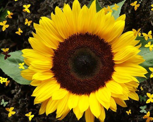"""Premier Seeds Direct SUN02F semi di girasole """"Tiny Sun Spot"""" (confezione da 40)"""