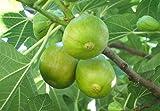 FICO SIMILE-FICUS CARICA- DI NATALE A MATURAZIONE TARDIVA- albero da frutto da esterno pianta vera Ø 19 cm - h 150 cm