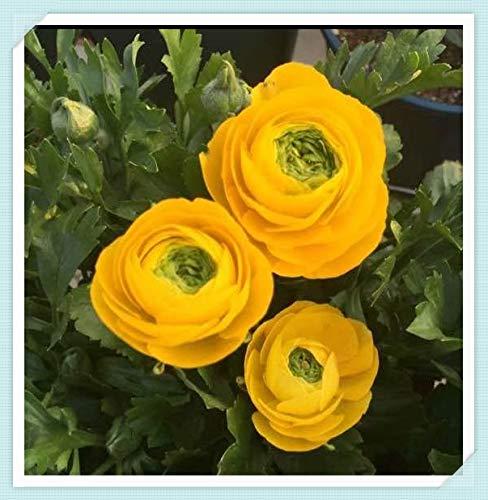 Ranunculus Bulbs - Bedding Plants Gorgeous Strong Roots Charming Rare Species Ornamental Courtyard Rhizome,Yellow,40 Bulbs
