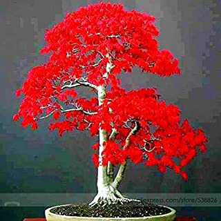 100% True Japanese Red Maple Bonsai Tree Cheap Seeds, Professional Pack, 20 Seeds/Pack, Very Beautiful Indoor Tree