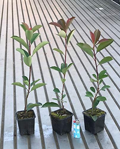 Fotinia'Photinia x fraseri Red Robin' pianta da siepe in vaso ø9 cm FOTO REALI