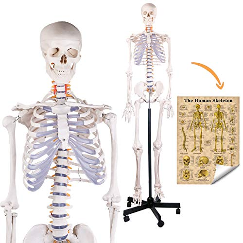 MIIRR Human Skeleton Model, Medical Anatomical Skeleton Life Size with Rolling Stand for Anatomy Teaching and Studying, Includes Product Colorful Poster (70.8')