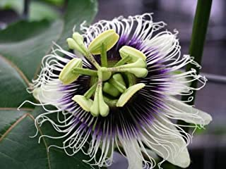 Purple Passion Fruit Vine, Passiflora Edulis, Seeds (Fast, Edible Fruit) (60 Seeds)