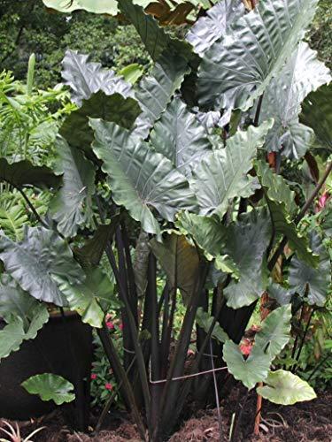 Alocasia plumbea Nigra, Black Elephant Ear (2 Starter Plants)