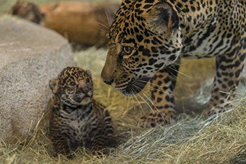 1000 stukjes puzzel Cheetah met zijn baby, familiespel met puzzel 75x50cm