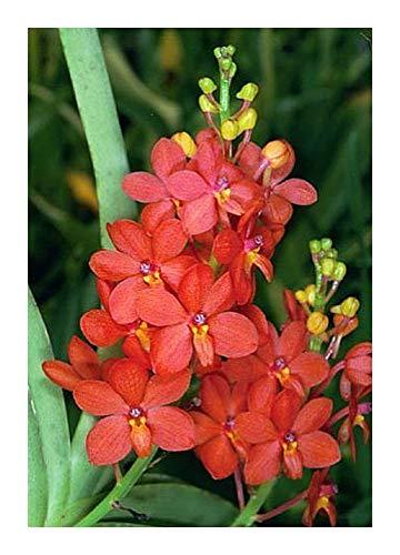 Ascocentrum curvifolium - orchidées - 100 graines
