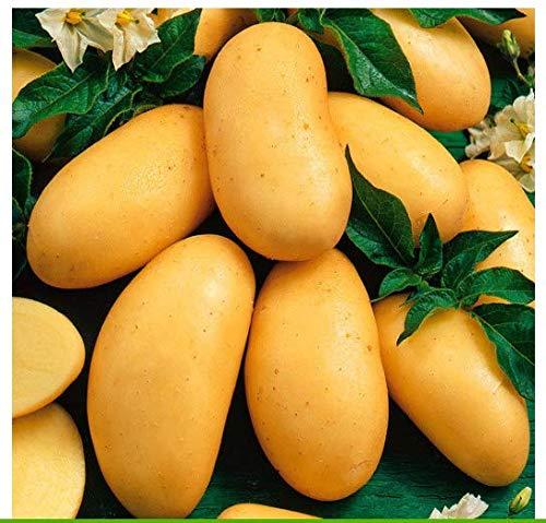 Tomasa Samenhaus- 50 stücke Bio Kartoffel Samen,Süßkartoffel Organischer Gemüse Saatgut Mehrjährige Kartoffelsamen Pflanzen Stauden Pflanzen Gemüse Samen Hausgarten