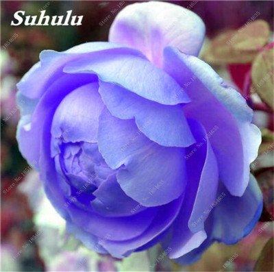 Nouveau! 10 Pcs Pivoine Graines Paeonia suffruticosa Andrews Mix Couleurs Indoor Bonsai fleur pour jardin des plantes Pivoine Graines de fleurs 12