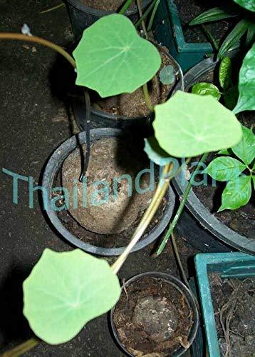 FERRY Bio-Saatgut Nicht nur Pflanzen: 1 von Stephania PIERREI DIELS + Free Phyto Zertifikat