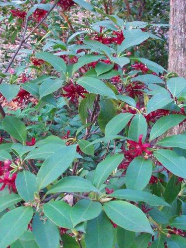 Florida Anise (Illicium floridanum)