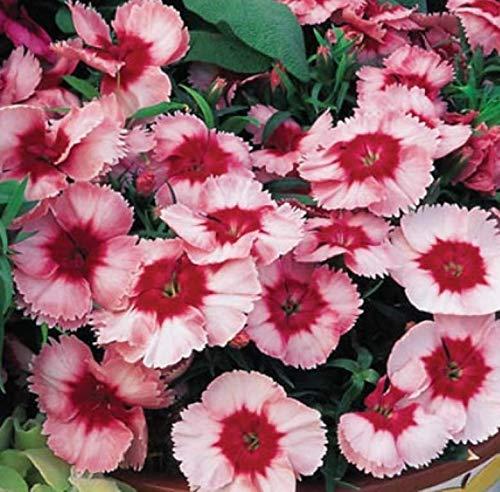 50 Fresh Seeds Super Parfait Dianthus Strawberry Pelleted Flower | #AA9DL