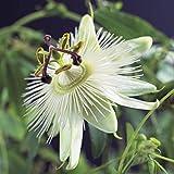 Passiflora caerulea Constance Elliot  set di 2 Passiflora  Hardy  Pianta rampicante  Bianca  Altezza 65-75 cm  vaso-Ø 14 cm