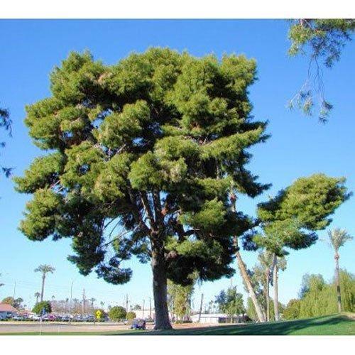 10 Aleppo Pine Tree Seeds - Pinus Halapensis