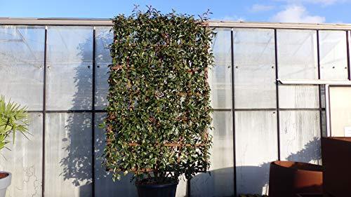 Spalier BIO Photinia Fraseri 290 cm Red Robin Glanzmispel 230x140 cm Sichtschutz Hecke