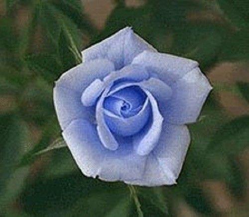 5 BLUE ROSE Rosa Bush Shrub Perennial Flower SeedsComb S/H