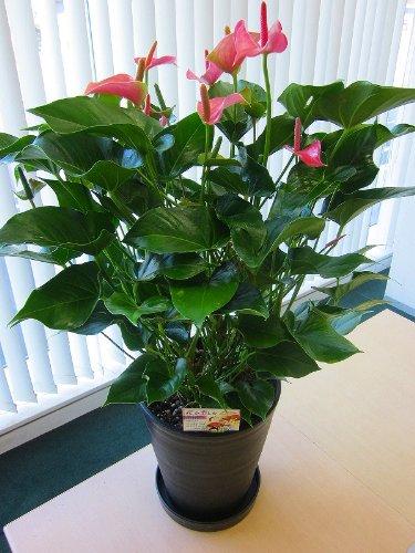 アンスリウム(アンスリューム)ピンク 10号鉢(尺鉢)四季咲きで花持ちが良く涼しげでギフトとして大変喜ばれている人気商品です。大変大きく高さもありお部屋のインテリアとして置いて頂くと一段と華やかになります