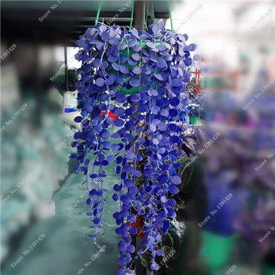 Multi Color Seed 100% Vrai Parthenocissus tricuspidata Seed, japonais Creeper Flowerpot semences, Paquet professionnel 20 pièces / sac 10