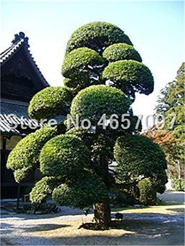 Bonsai Heiße 20 Stück Topf Seltene großblättrige steineibe Bonsai Tropische Gärten dekorative Blumen immergrün: 1