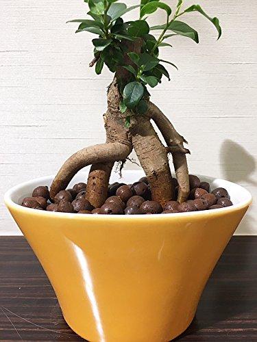 ガジュマル ハイドロカルチャー 観葉植物 インテリア 多幸の木 がじゅまる ガジュマルの木 北欧 おしゃれ イエローオーバル