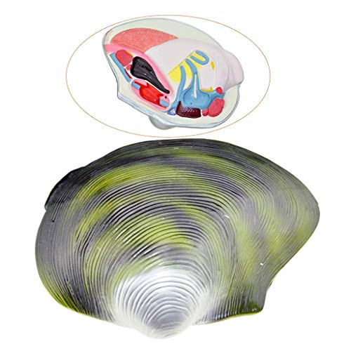 HaoLi Modelo de mejillón de río Molusco anatómico Caracte