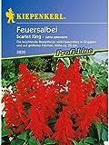 Salvia splendens Feuersalbei Scarlet King rot
