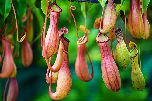 Fleischfressende Pflanze, Kannenpflanze 5 Samen (Mischung) Nepenthes Samen