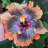 100pcs gigante hibisco Semillas 24kinds Hibiscus rosa-sinensis Semillas de flores Semillas color de la mezcla del hibisco del árbol por Flor Plantas en maceta