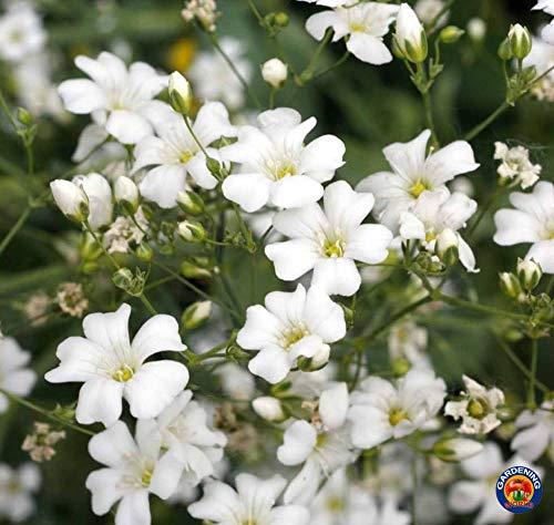 ASTONISH I semi della confezione: 1000 Babys Breath semi di fiori Gypsophila Elegans