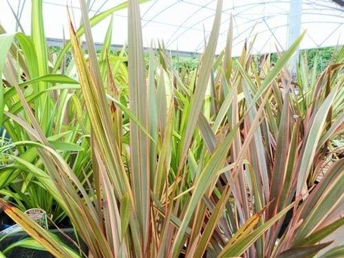 Portal Cool Phormium Tenax Mixte (Nouvelle-Zã©Lande Lin) - 25 graines. Gras, d'architecture Plantes