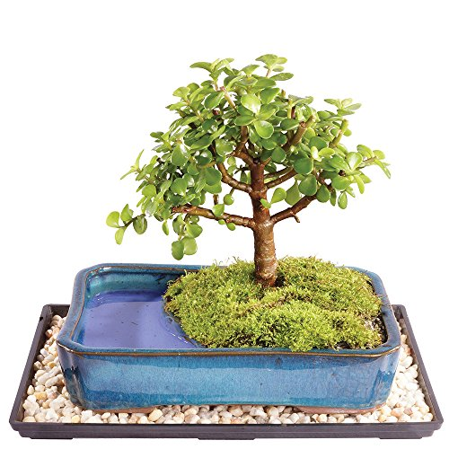 Brussel's Live Dwarf Jade Indoor Bonsai Tree in Water Pot - 5 Years Old; 6' to 10' Tall with Humidity Tray & Deco Rock