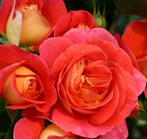 'Gebrüder Grimm' -R-, Beetrose in A-Qualität Wurzelware, ADR-Rose