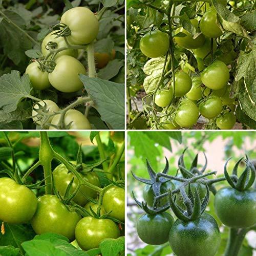 Ultrey Samenshop - 50 Stück Selten Grüne Tomatensamen Cherrytomaten Fleischtomate Samen Gemüse Obst Samen ertragreich mehrjährig winterhart für Garten Balkon/Terrasse