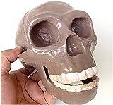 Medical Anatomy Skull Model - Pekingese Skull Head Model - Life Size Replica Skull Model - 1:1 Replica Human Skull Skeleton Model - PVC Material - for Study Display Teaching Medical Mode ( Color : A )