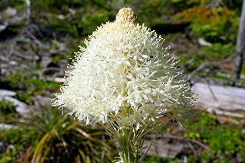 Xerophyllum Tenax - Herbe Ours - 25 graines