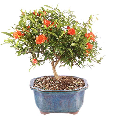 Brussel's Bonsai Live Pomegranate Outdoor Bonsai Tree-3 Years Old 6' to 10' Tall with Decorative Container, Medium