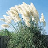 FUN AND EASY:100+ Seeds of Exotic White Pampas Grass UNIQUE LOOK:This magnificent Pampas Grass plant thrives in full sun and hot climates. From ornamental grass seeds, it will take 2 or 3 years to bloom, but your patience is richly repaid by long-liv...