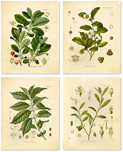 Botanical Prints Vintage Wandbild – stimulierende psychoaktive Kräuter – 4 Stück – Kaffee, Tee, Coca, Mate – 8 x 10 cm – matt ungerahmt