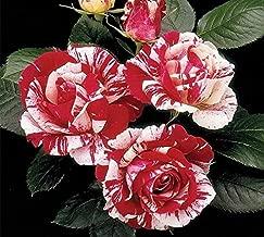 Best the rose bush Reviews
