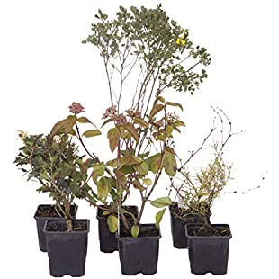 YouGarden Evergreen Shrub collection - 6 varieties in 9cm pots