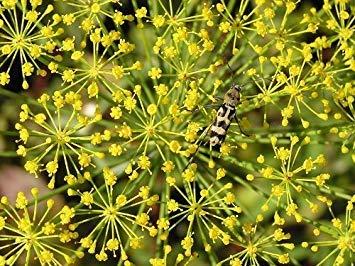 Vistaric Seedville Anethum Graveolens Bouquet d'herbes à l'aneth, 2500 graines