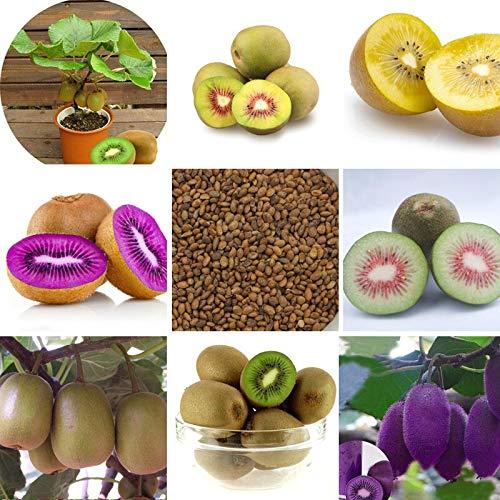 100 piezas Mini actinidia Semillas de plantas en macetas pequeñas de árboles frutales Hermosas semillas de kiwi bonsai (corazón rojo, amarillo, verde y morado)