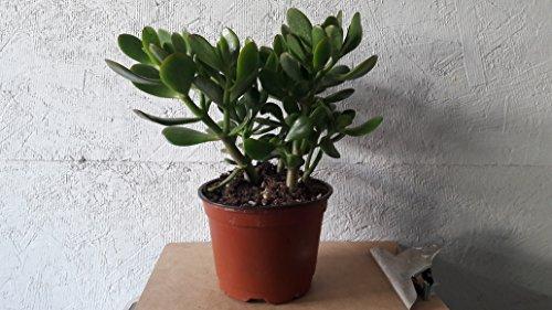 """Jade Plant - Crassula ovuta - Easy to Grow - 6"""" Pot from jmbamboo"""