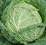 Cabbage Savoy Perfection...image