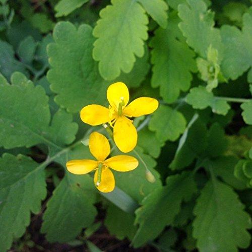 Greater Celandine Seeds (Chelidonium majus) 20+ Medicinal Herb Seeds